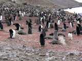 Gentoo Penguins as Far as the Eye Can See