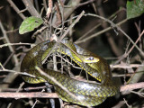 A Whip Snake Taken at Night on a Boat Ride Through the Amazon Rain Forest