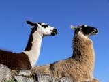 Llamas  Along the Sun Gate Trail at Machu Picchu