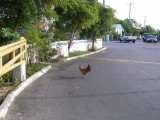 chickens every wheres