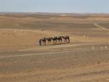 camel transport into the desert
