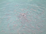 Plenty fish in the Harbour of Carmen