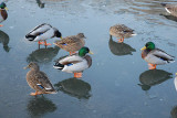 Malard Ducks on Icy Pond