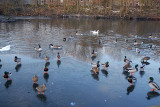 Malards, Ducks on Ice