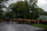COWS CROSSING A ROAD