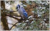 Bluejay  todays first snowfall .jpg