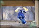 Bluejay feeder.jpg
