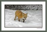 Red fox backyard.jpg