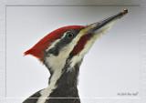 Portrait framed Pileated woodpecker.jpg