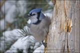 Bluejay on tree.jpg