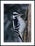Hairy woodpecker.jpg