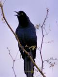 Starling 1.jpg
