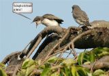 Eastern Kingbird Feeding Young