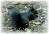 Black Squirrel.jpg