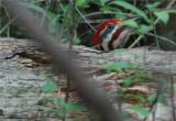 Pileated Woodpecker 44.JPG