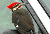 Pileated Woodpecker 45.JPG