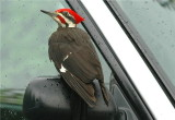 Pileated Woodpecker 46.JPG
