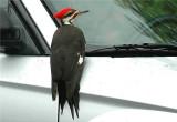 Pileated Woodpecker  47.JPG