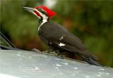 Pileated Woodpecker 48 .JPG