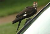 Pileated Woodpecker  49.JPG