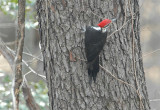 Pileated Woodpecker  50.JPG