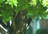 Pileated Woodpecker  52.JPG