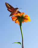 Sphinx Moth at Mexican Sunflower