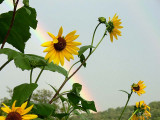 Sunflowers and Rainbows