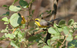 Yellow bellied fantail
