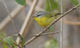 grey hooded warbler