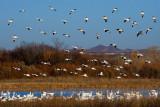 Canadian White Geese Landing on Pond.jpg