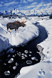 Moosebull at Frosty Creek.jpg