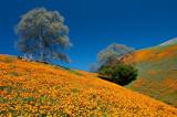 Hillside Poppies_1.jpg