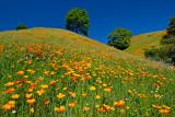 Hillside Poppies_2.jpg