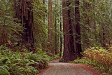 Jedediah Redwoods.jpg