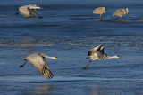 Sand Hill Cranes Over Icy Water.jpg