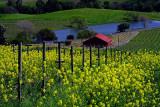 Mustard Flowers in Napa.jpg