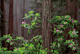 Rhododendrons in the Redwoods.jpg