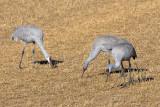 Sandhill Cranes Feeding in the Field.jpg