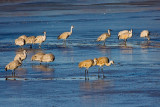 Sand Hill Cranes in Icy Water.jpg