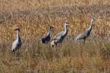 Sand Hill Cranes in the Field.jpg