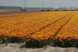 tulpen b.jpg