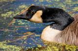 Canada Goose in Duckweed