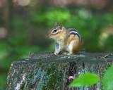 Chipmunk on Stump