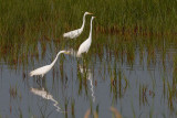 Great Egrets Fishing