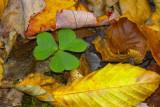 Sorrel (Oxalis) in Fall