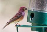 Purple Finch at Feeder
