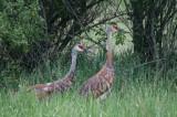 Sandhill Cranes, Hudson Mills