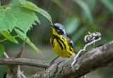Magnolia Warbler (Crane Creek)