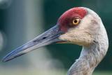 Sandhill crane portrait